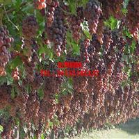 供应红地球葡萄苗  本基地品种多价格低廉适合大多果树商家
