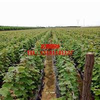 红提葡萄苗  嫁接葡萄苗  品种齐全