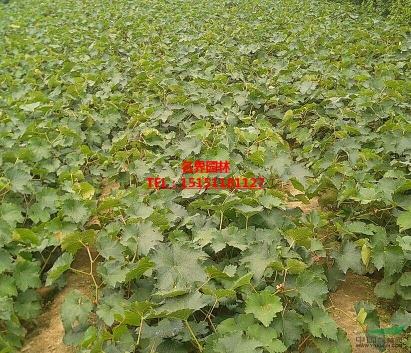 夏黑葡萄苗   多品種葡萄苗基地