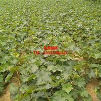 夏黑葡萄苗   多品种葡萄苗基地