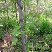 枫香价格 8公分枫香价格 枫香树价格 北美枫香价格