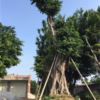百年老榕树70-150