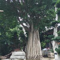 大规格榕树