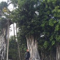 百年老榕树