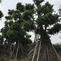 80-150百年老榕树