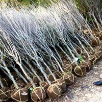 海滨木槿 连翘 接骨木树苗长期供应