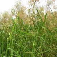 水竹 芋玉婵花 梭鱼草 芦苇