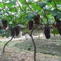 葡萄树苗 三叶木 通薜荔