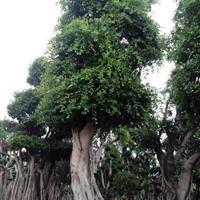 80-150老榕树