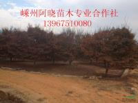 鸡爪槭供应/鸡爪槭图片