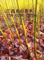 供应江西宜春一年生檫树行情报价\一年生檫树图片展示