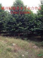 浙江乐昌含笑3介绍
