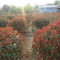 红叶石楠,红叶石楠苗,红叶石楠绿篱,红叶石楠球,最新基地报价