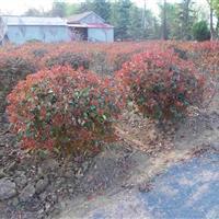 红叶石楠球,红叶石楠造型,圆柱形红叶石楠,最新基地批发报价