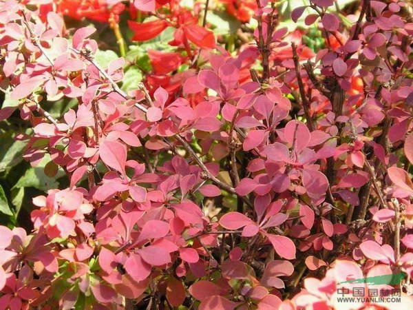 红叶小波,红叶小波球,红叶小波绿篱苗,紫叶小波基地,盆栽