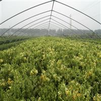 金银花,最新金银花报价,供应金银花,金银花造型,金银花基地。