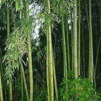 刚竹,最新刚竹报价,刚竹苗,刚竹基地,刚竹产地,竹子基地
