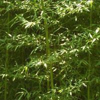 早园竹,最新早园竹报价,早园竹苗,早园竹基地直销,早园竹产地