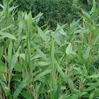 箬竹,*新箬竹报价,批发箬竹,箬竹苗,箬竹基地,箬竹产地