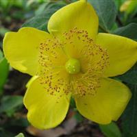 金丝桃,*新金丝桃报价,大量供应金丝桃,金丝梅,黄色花朵