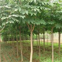 七叶树,白花七叶树,红花七叶树,*新七叶树报价,基地直销