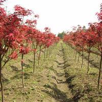 红枫,最新红枫报价,美国红枫,日本红枫,嫁接红枫,籽播红枫苗
