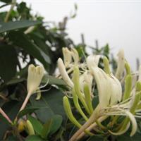 金银花,新金银花报价,金银花基地,金银花花卉苗木