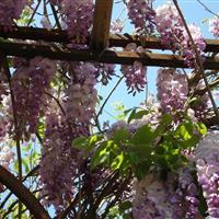 紫藤,*新紫藤报价,日本紫藤,紫藤基地,藤本植物基地直销