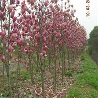 紫玉兰,*新紫玉兰报价,紫玉兰小苗,红玉兰 ,红玉兰小苗