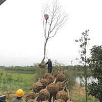 安徽烏桕 安徽三角楓 精品苗圃供應 苗木直銷