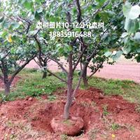 出售直径10厘米杏树,高度3.5米,冠幅3米杏树基地