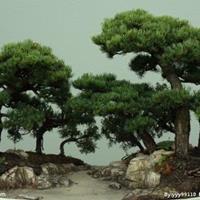 供应五针松盆景,五针松造型,日本五针松