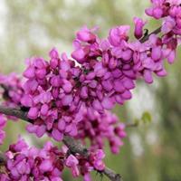 批发独杆紫荆,丛生紫荆,巨紫荆