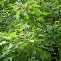 直销枫香,枫香树,枫香基地,北美枫香,美国枫香