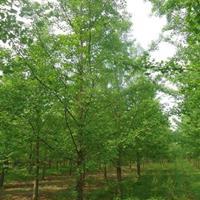 批發1-60公分銀杏,銀杏樹,銀杏樹苗,銀杏基地