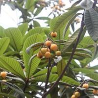 供應枇杷,琵琶樹,1-10公分枇杷基地