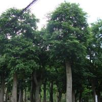 批发朴树,朴树基地,3-50公分朴树