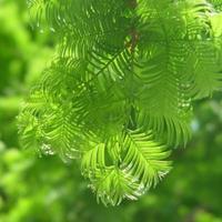 快乐赛车开奖水杉,水杉树,水杉树苗,2公分-20公分水杉