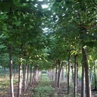 供應楸樹,3-20公分楸樹,楸樹基地