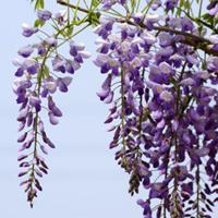 批发紫藤,日本紫藤,紫藤基地,藤本植物