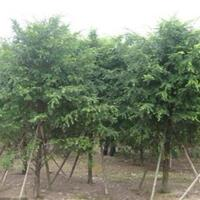 供應紅豆杉,紅豆杉盆景,曼地亞紅豆杉,南方紅豆杉,紅豆杉基地