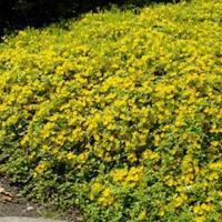 批发金叶过路黄,金叶过路黄基地,地被类