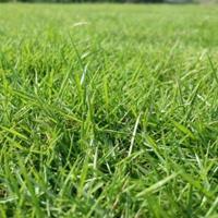 直銷馬尼拉草坪,馬尼拉草皮,草坪基地