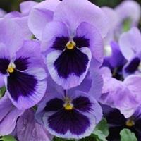 供应三色堇 一串红 吊兰 瓜叶菊 芦荟 牡丹 芍药 紫花苜蓿