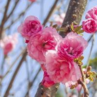 供應櫻花,早櫻,晚櫻,粉紅色花朵