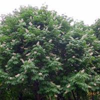 供應喬木七葉樹,白花七葉樹,紅花七葉樹