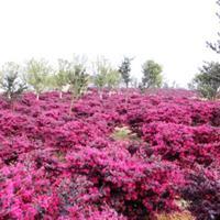 供应红花继木,红花继木球,红花继木苗,红花继木绿篱