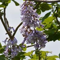 供应泡桐,泡桐树,紫花泡桐