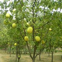 批发木瓜树 ,大木瓜树,木瓜小苗,木瓜基地