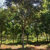 供应乔木七叶树,白花七叶树,红花七叶树
